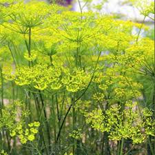 fennel seeds florence fennel herb seed