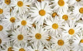 white flower wallpaper best background wallpaper