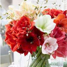Amaryllis Flowers Amaryllis Flower Bulbs Garden Plants U0026 Flowers The Home Depot