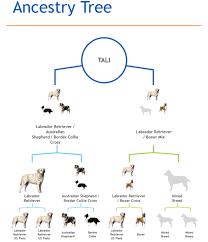 australian shepherd iq dna test results border collie lab terrier miniature dogs