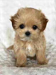 shichons haircut brown teddy bear puppies for sale great of cute dogs
