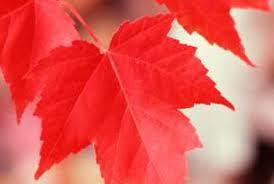brown spots in an autumn blaze maple home guides sf gate