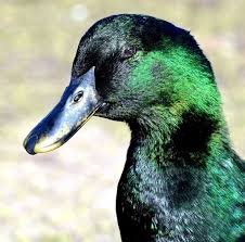 where can i buy duck 29 best duck images on ducks farming and poultry