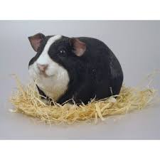 petpal guinea pig baby black white stripe smooth coat small by