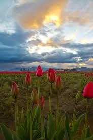 Skagit Valley Tulip Festival Bloom Map Daffodils North Western Images Photos By Andy Porter