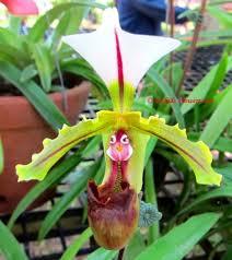 Pink Lady Slipper Flower - best 10 lady slipper orchid ideas on pinterest unusual flowers