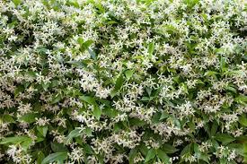 star jasmine on trellis growing perennial vines thriftyfun
