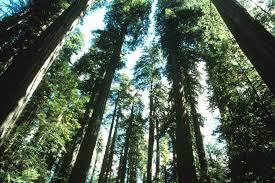 how tall can trees grow