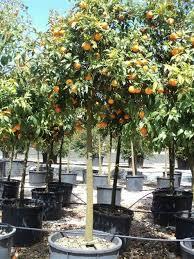 citrus limonum mezzo fusto ornamental plants from italy
