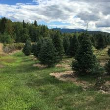 balsam tree top 5 most popular christmas trees species in the world