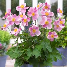 anemone plant anemone princess j bulbs