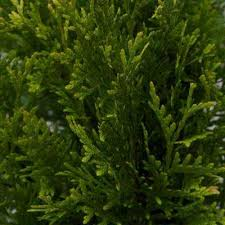 arborvitae tree non flowering ornamental trees trees the