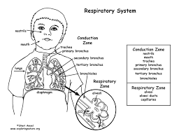 respiratory system coloring page print coloring delectable the