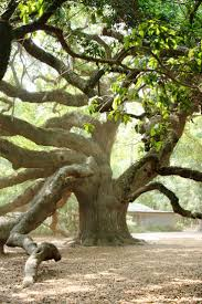 best 25 oak tree ideas on big tree trees beautiful