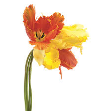 orange yellow parrot tulip on white frameless free floating empire