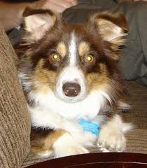 5 month old mini australian shepherd aussie corgi dog breed information