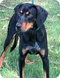 bluetick coonhound with cats colby adopted dog courtesy posting contact kathydavisday gmail