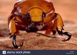 Australian Christmas Australian Christmas Beetle Close Up Stock Photo Royalty Free