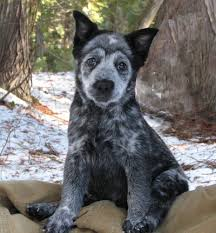 australian shepherd cattle dog mix border collie blue heeler australian shepherd mix d o g s