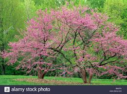 mn landscape arboretum flowering eastern redbud tree in the minnesota landscape arboretum