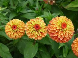 zinnia flower zinnia queeny lime orange all america selections