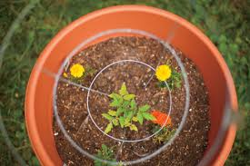 Vegetable Container Garden - homegrown groceries fruit and vegetable container gardening