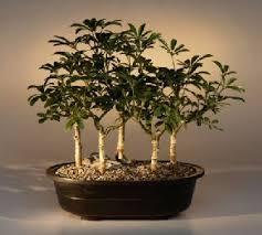 umbrella bonsai tree for sale five tree forest arboricola