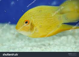 yellow damselfish swimming marine aquarium kerala stock photo