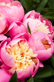 Peony Flowers by 29 Beautiful Peonies Sunset