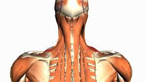 Anatomy And Physiology Of The Back Intermediate And Deep Muscles Of The Back Anatomy Tutorial Youtube
