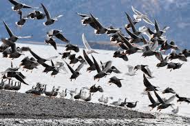 emperor goose audubon field guide