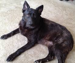 belgian shepherd skin problems va dog rescue how to help anika