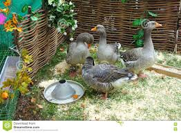 four gray domestic geese stock photo image 79685557
