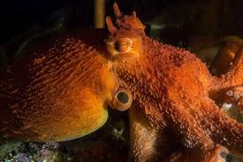 the giant pacific octopus u2022 scuba diver life