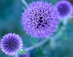globe thistle a profile of a perennial flower howstuffworks