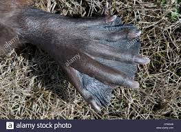 close up of beavers webbed foot or paw adapted for swimming