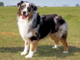 australian shepherd club qld what u0027s the difference between the australian shepherd and the