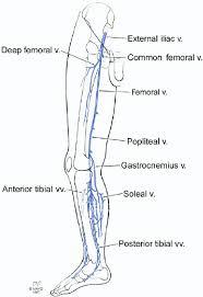 Human Anatomy Terminology Human Anatomy Diagram Veins Of The Leg Anatomy Search Veins Of