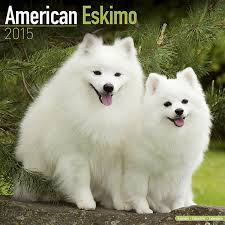 american eskimo dog in india american eskimo dog calendar 2017 dog breed calendars 2016
