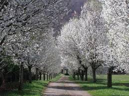 here are options to bradford or callery pear trees