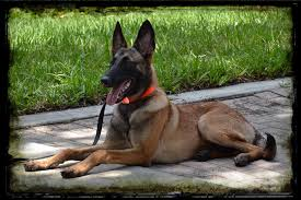 belgian shepherd malinois temperament recently sold protection dogs high class k9 protection dogshigh