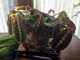 can you save a plant that has been frozen what to do for freeze