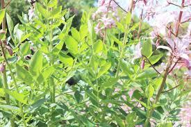 dictamnus diptam flower how to grow and care the gas plant