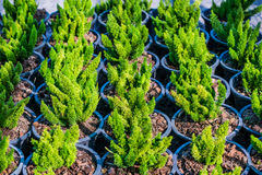 ornamental potted trees stock photos royalty free images