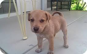australian shepherd lab puppy 3 aussie lab mixes adopted puppy albemarle nc australian
