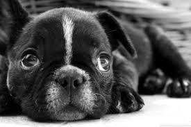 black french bulldog puppy 4k hd desktop wallpaper for 4k ultra