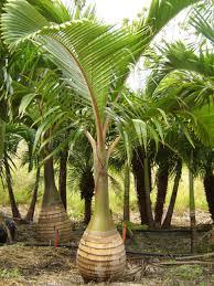 ornamental palm tree seeds pack 3 types of palms tree seeds