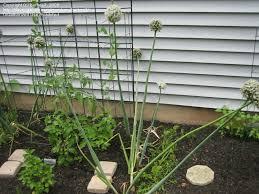 vegetable gardening how do onions grow 1 by barhea7