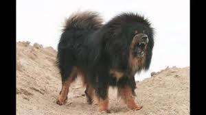 lion dogs tibetan mastiff lion dog best guard dog