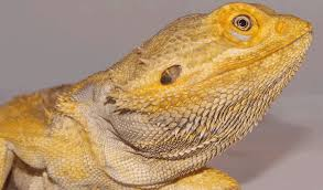 bearded dragons scale reptiles